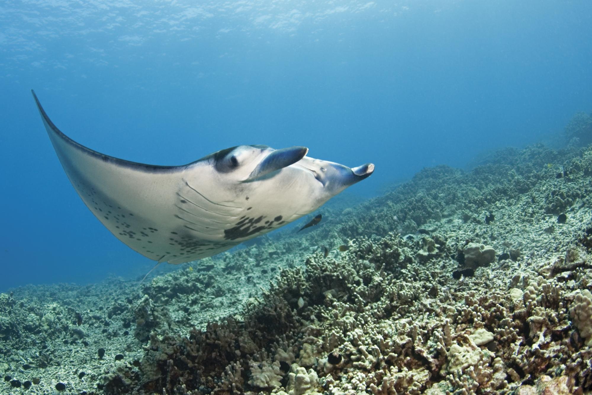 Manta Ray_Island of Hawaii_BIVB_0071.jpg