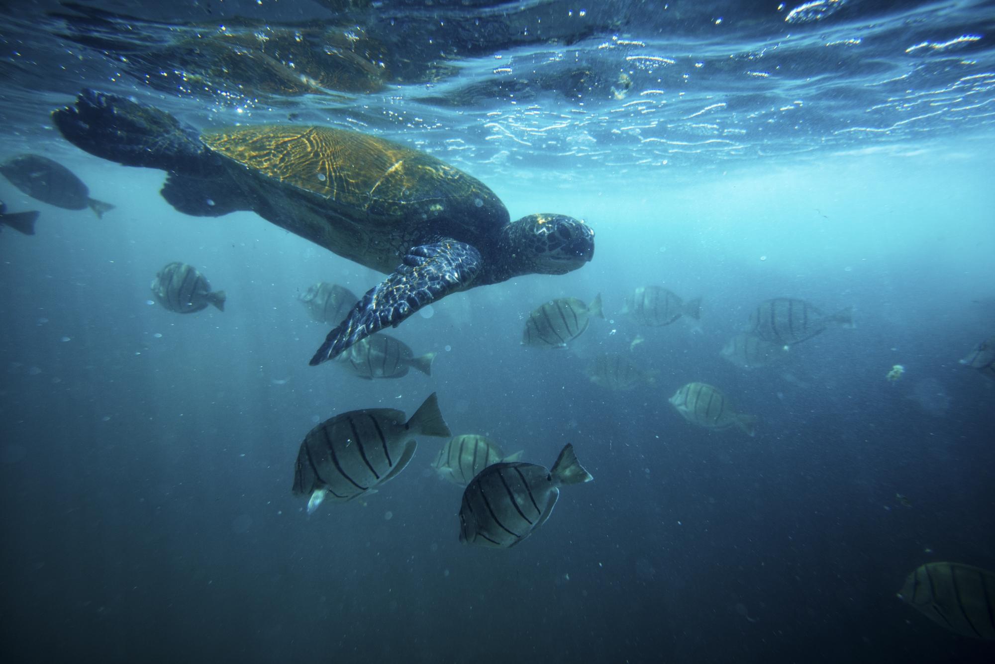 Turtles Underwater_Island of Hawaii_BIVB_0355.jpg