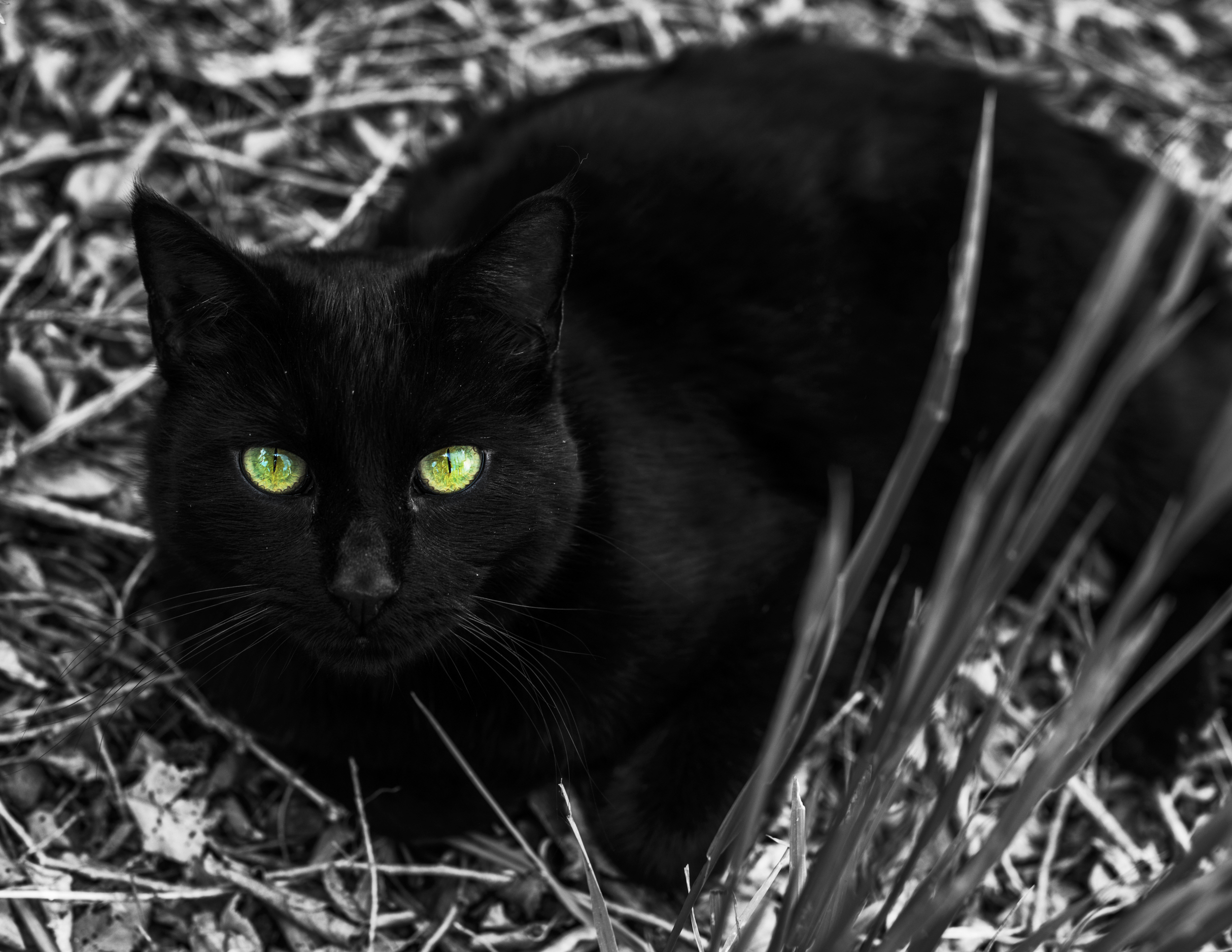 black cat-1.jpg