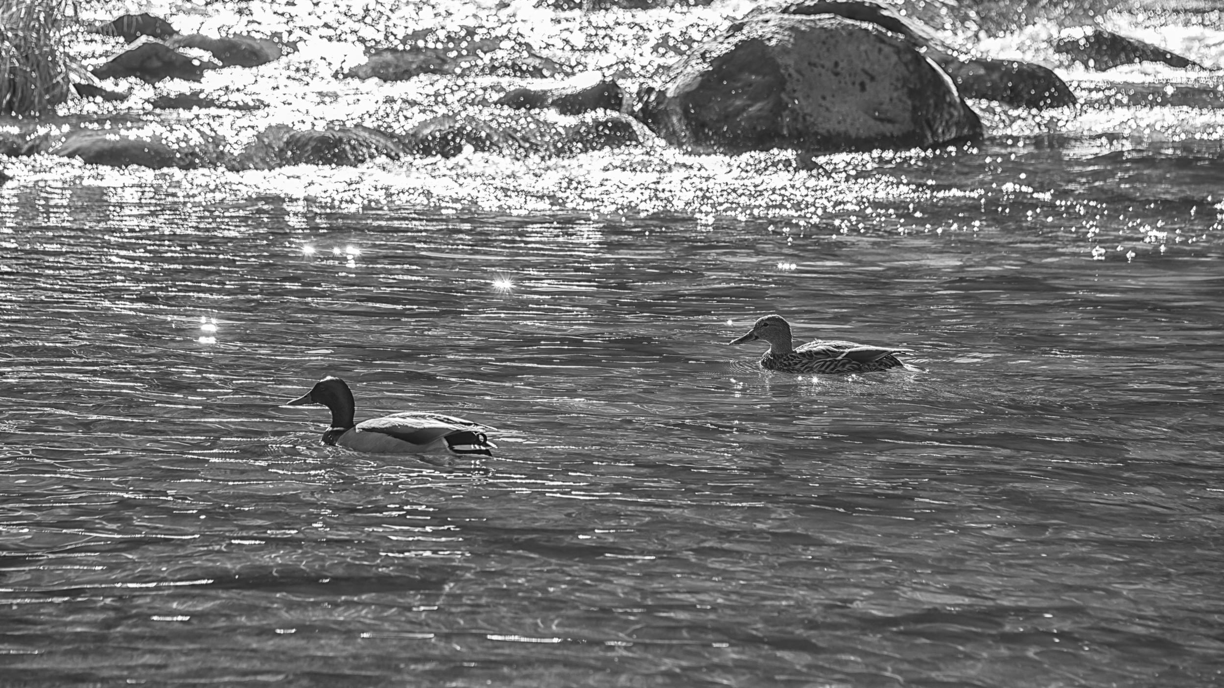 ducks-1.jpg