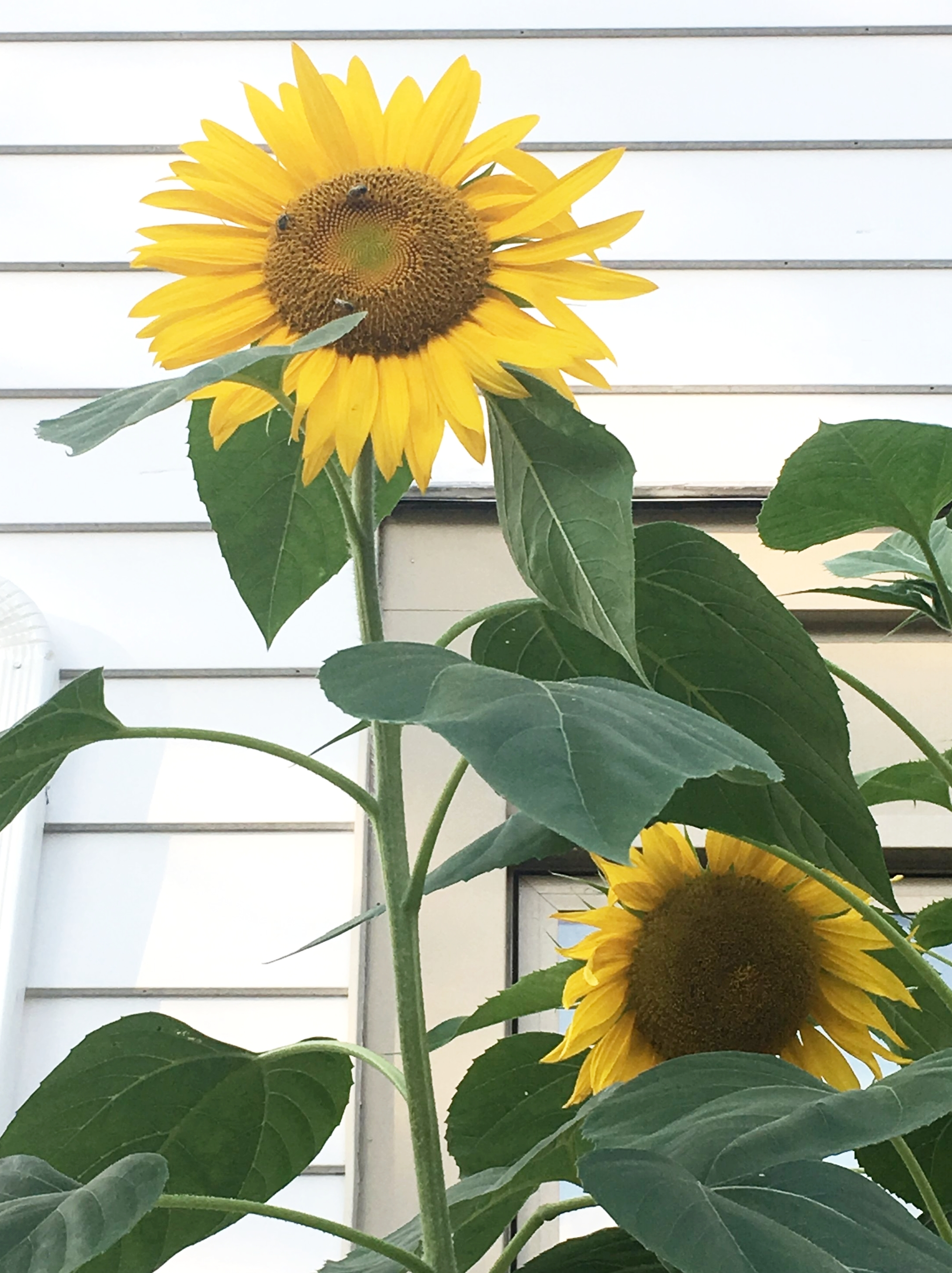Sunflowers in my garden! #tevGardens