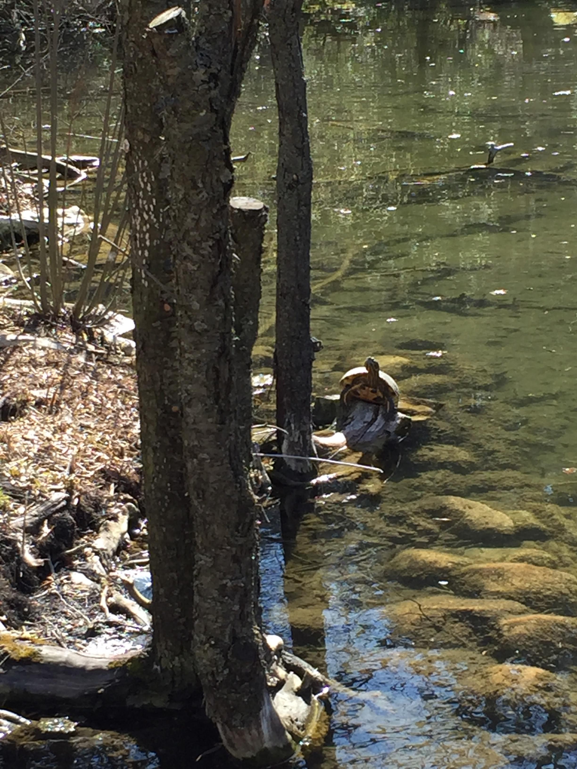 Turtle in Springbank Park, London