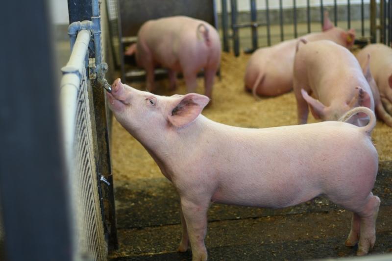 farm pig.JPG