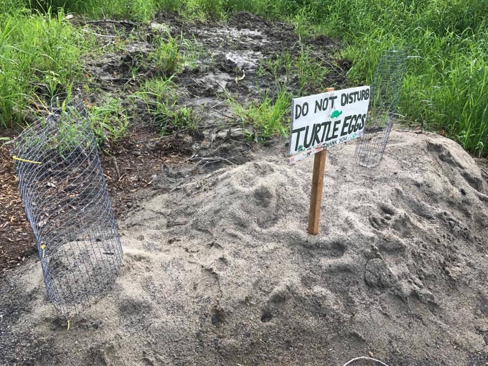 Turtle egg nest