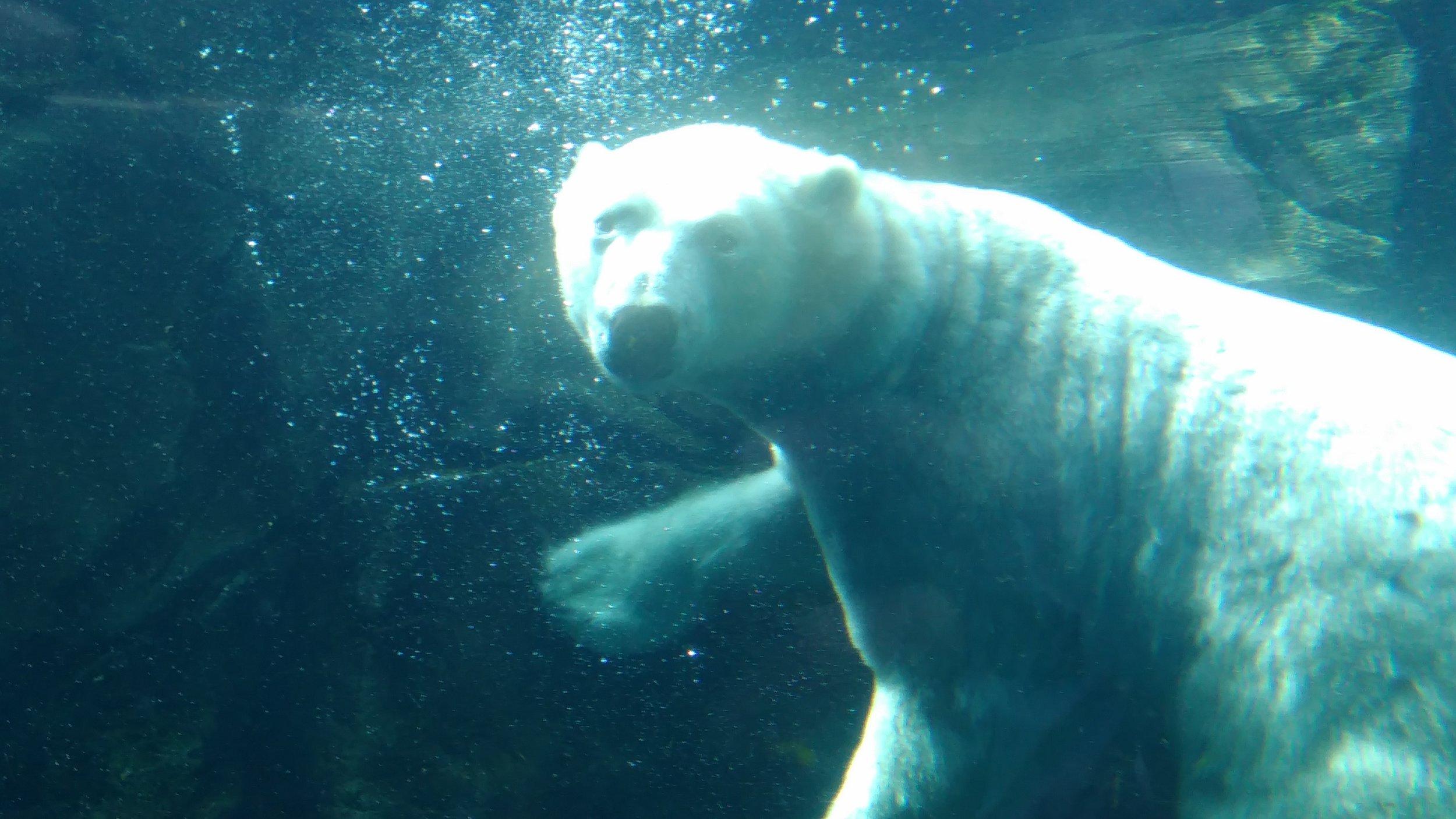 Polar Bears at Assiniboine Park Zoo .jpg