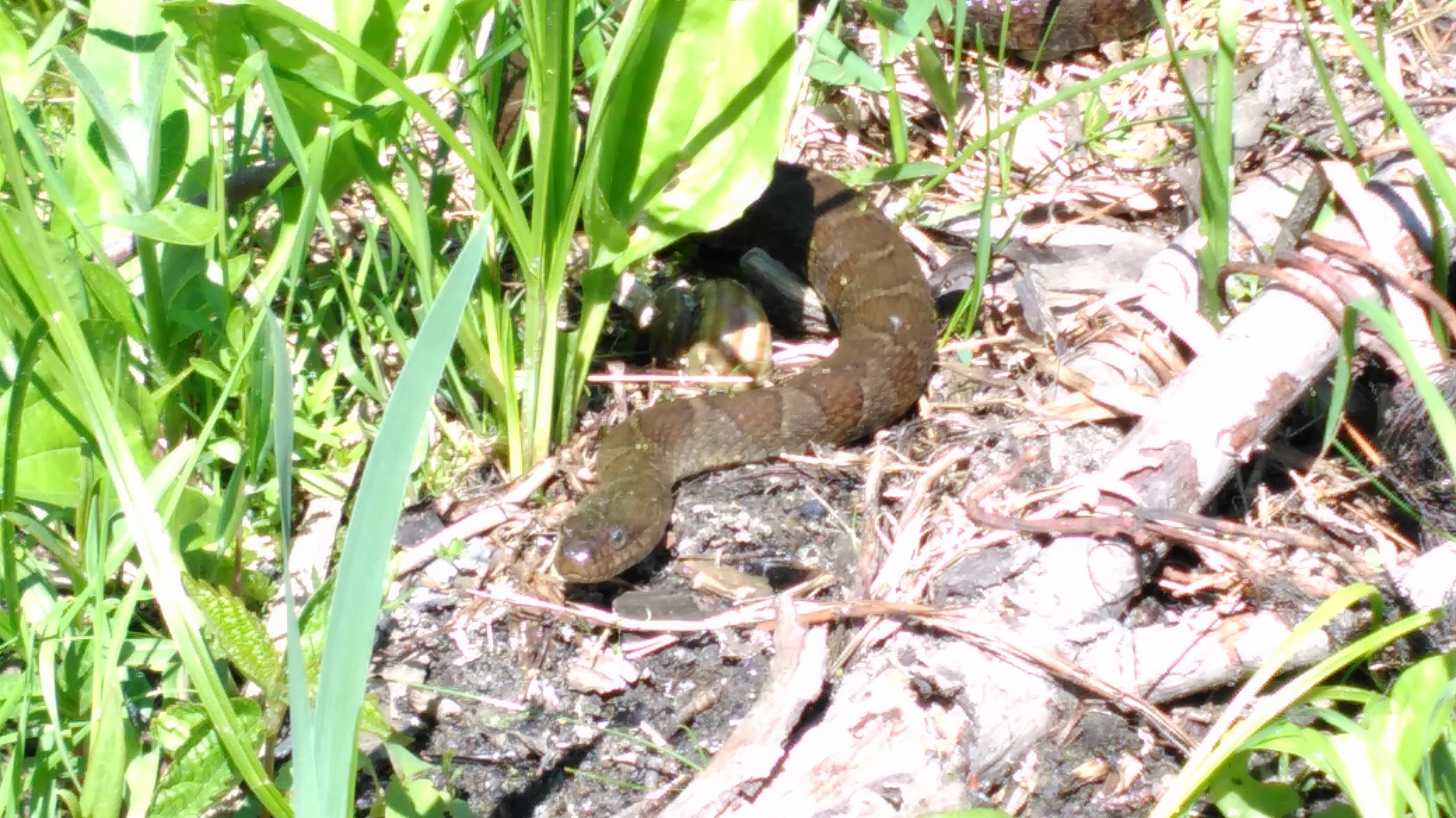 Chaffey's Lock Water Snake
