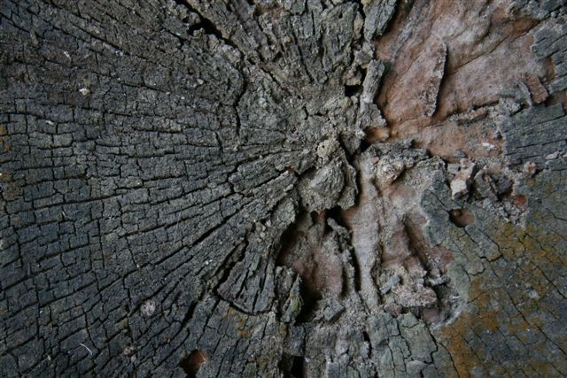 Naturally eroded end grain of a mahogany log... ain't she beautiful?