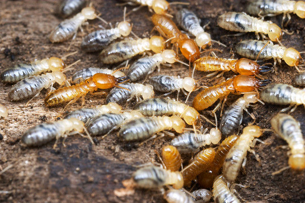 The enemy of wood... subterranean termites