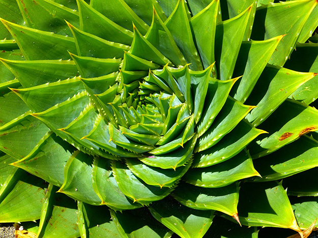 Aloe vera, when nature loves you more than you think!