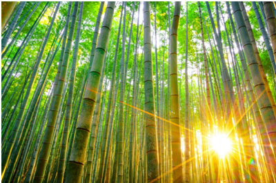 Sun rise on a bamboo forest