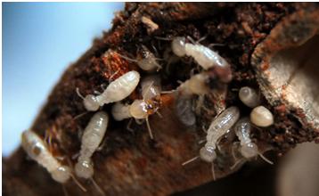 Termites feasting on wood