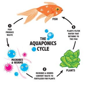 Aquaponics cycle, as easy as it gets!