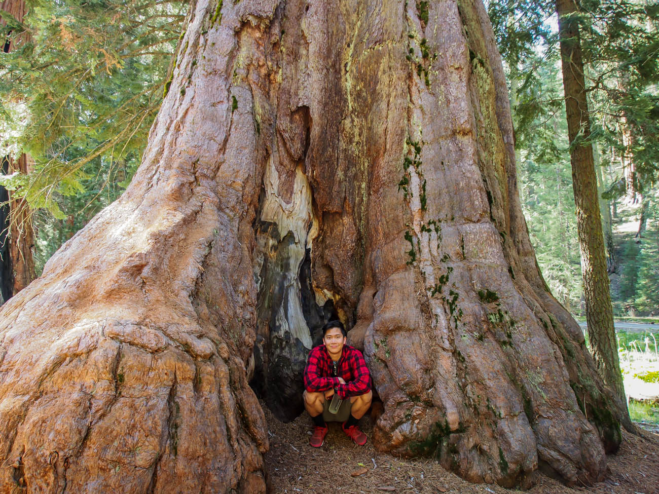Showing the massive size of the trunks