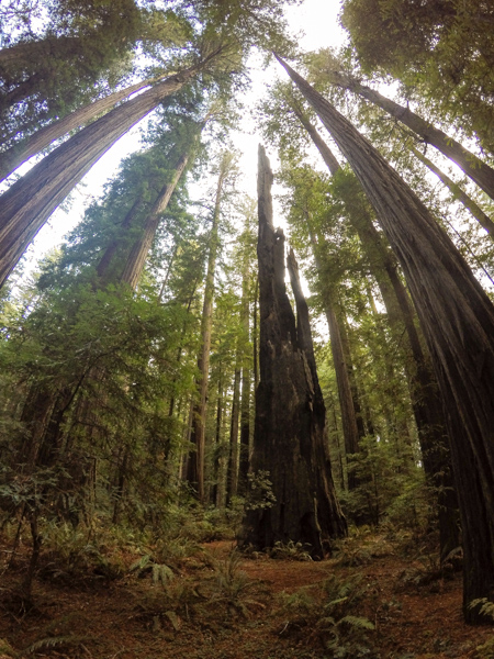 A particularly picturesque redwood stump