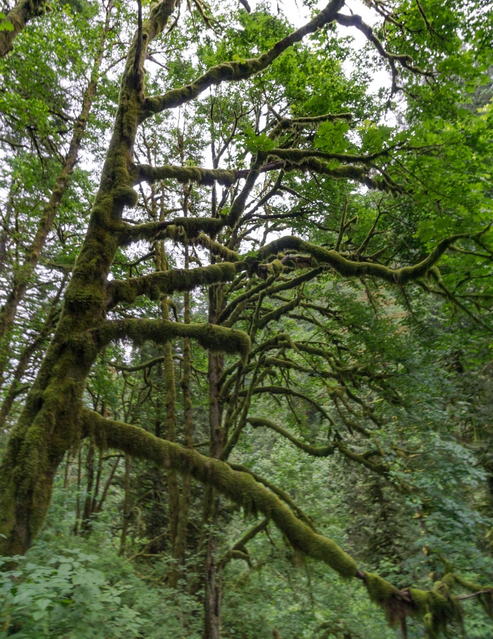 Moss-covered gangly tree branches