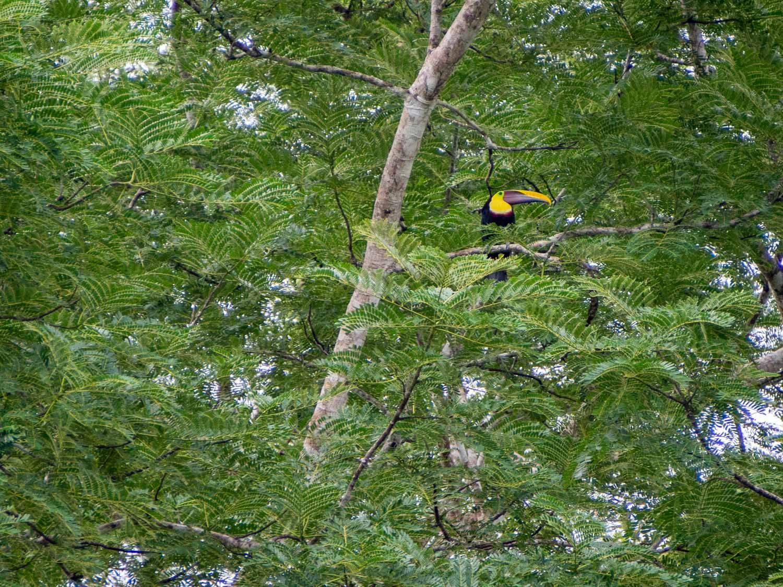 Toucan in Corcovado Costa Rica