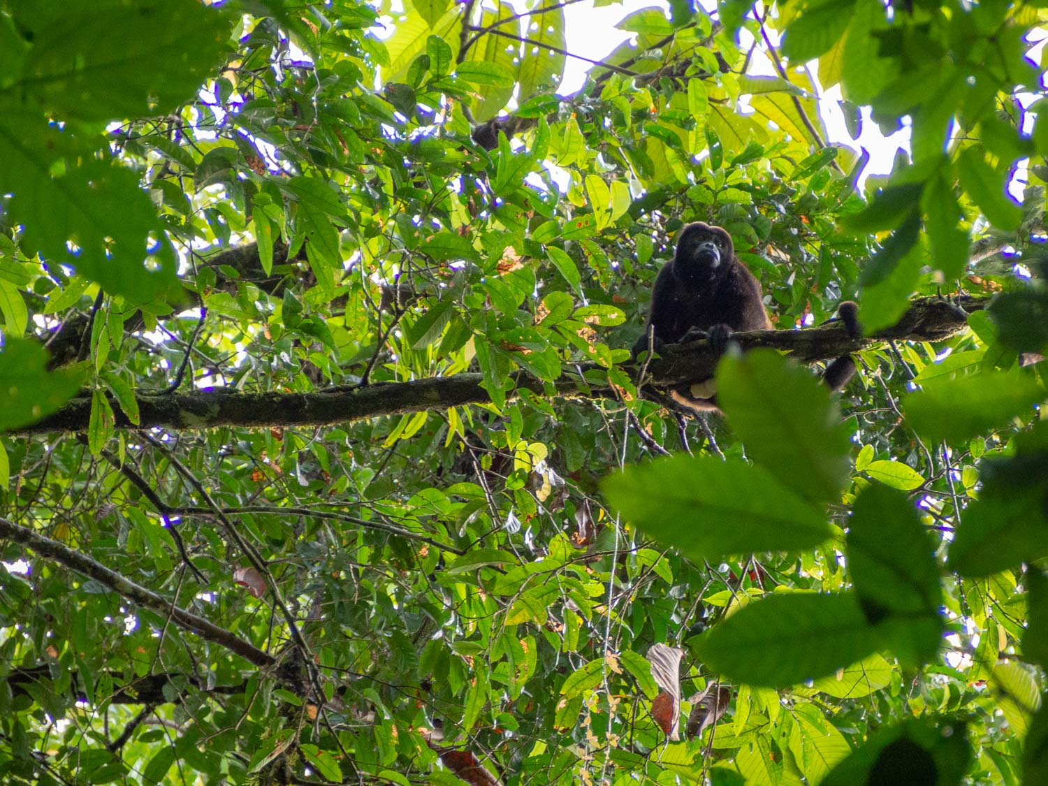 Howler Monkey while day hiking from La Tarde