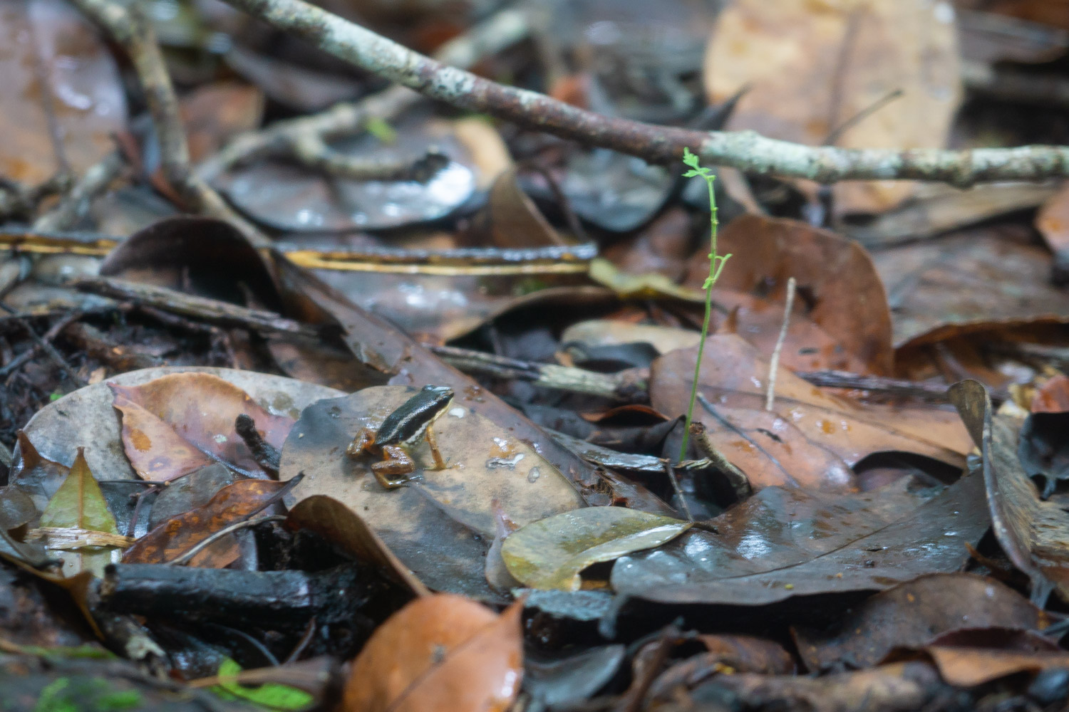 poisonous frogs in corcovado jungle
