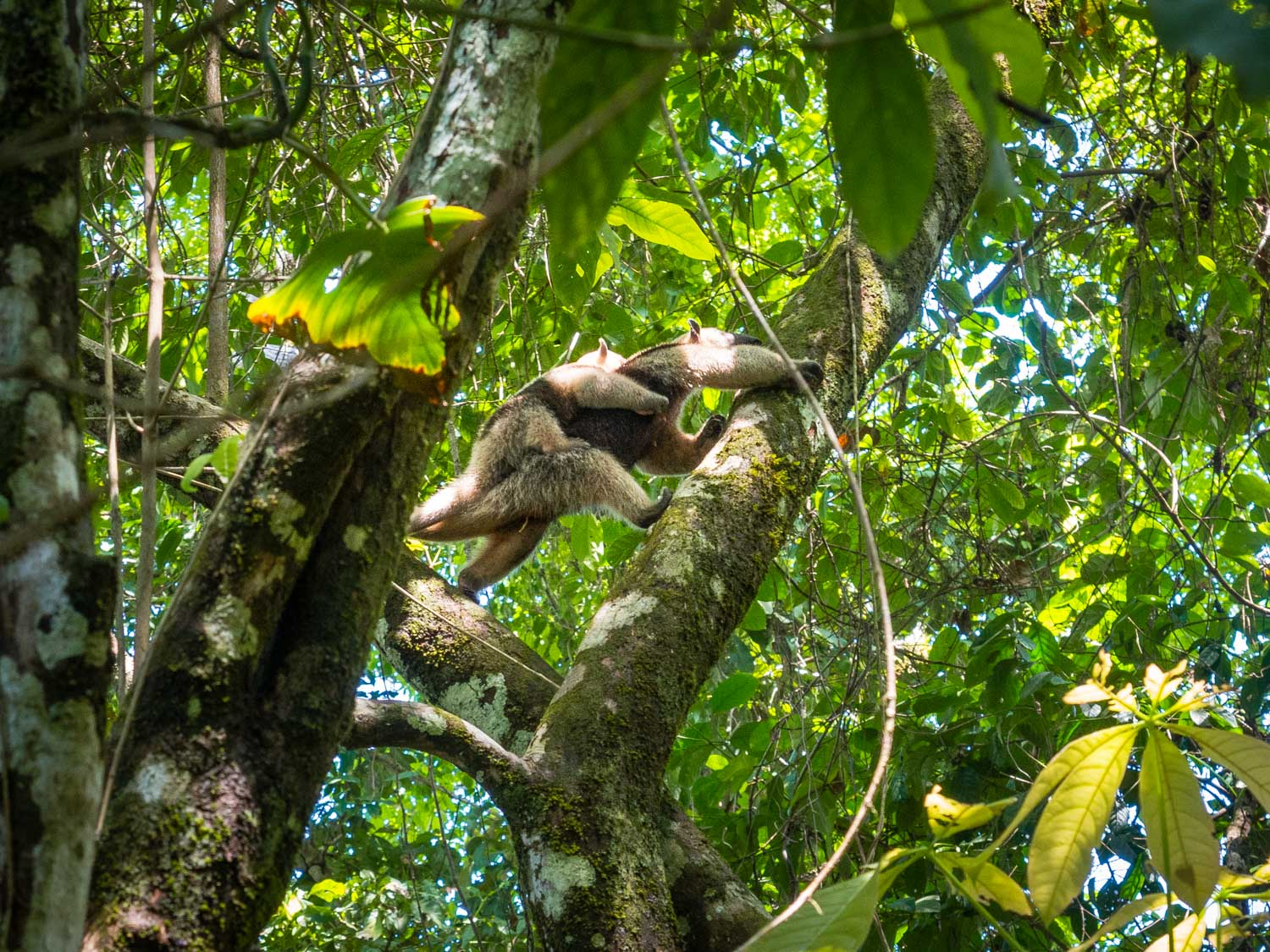 Lesser anteater and her baby
