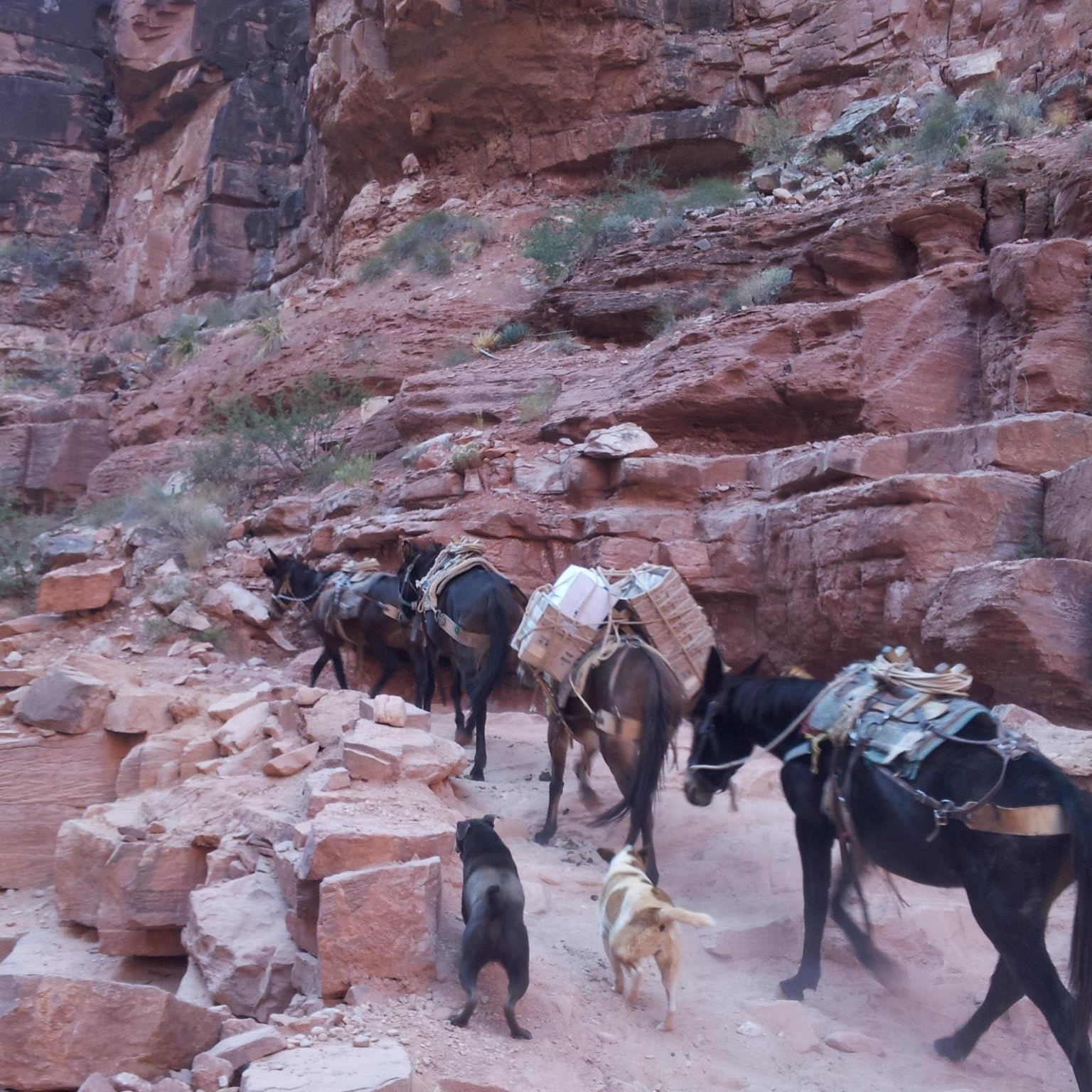 A train of donkeys being corralled by their owner's dogs