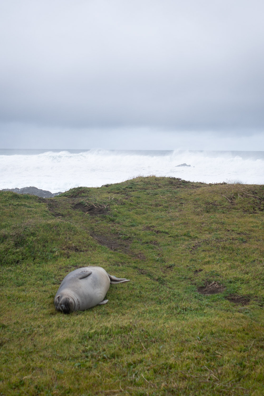 Seals of the Lost Coast Trail in California