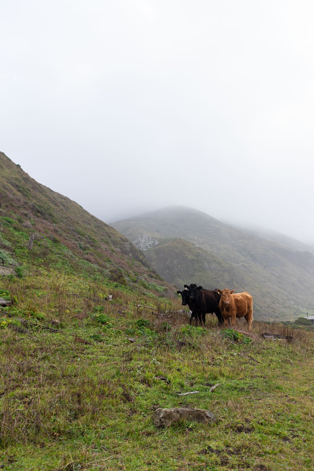 Cows of the King Range Wilderness