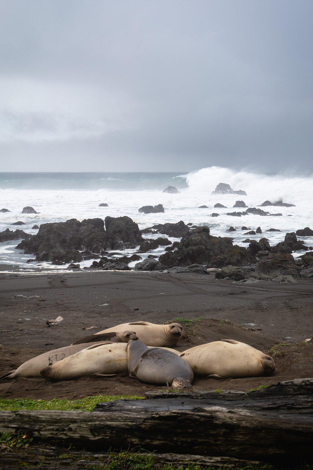 Northern California elephant seals on the Lost Coast