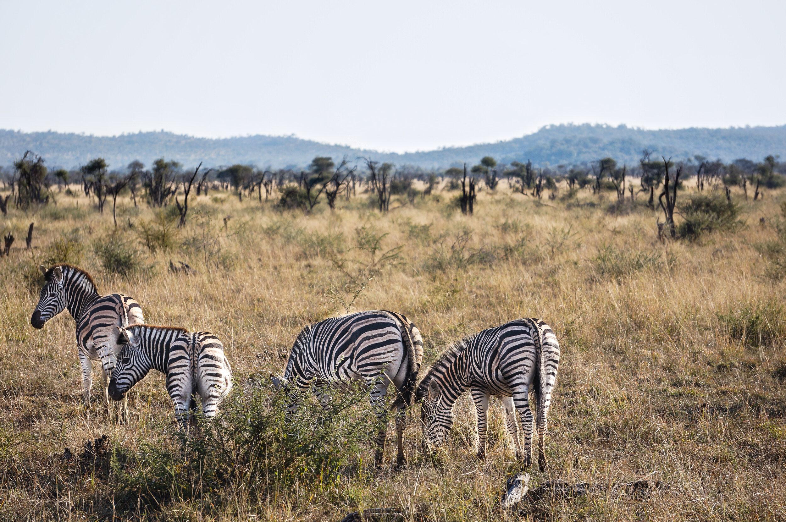 Zebras in Madikwe