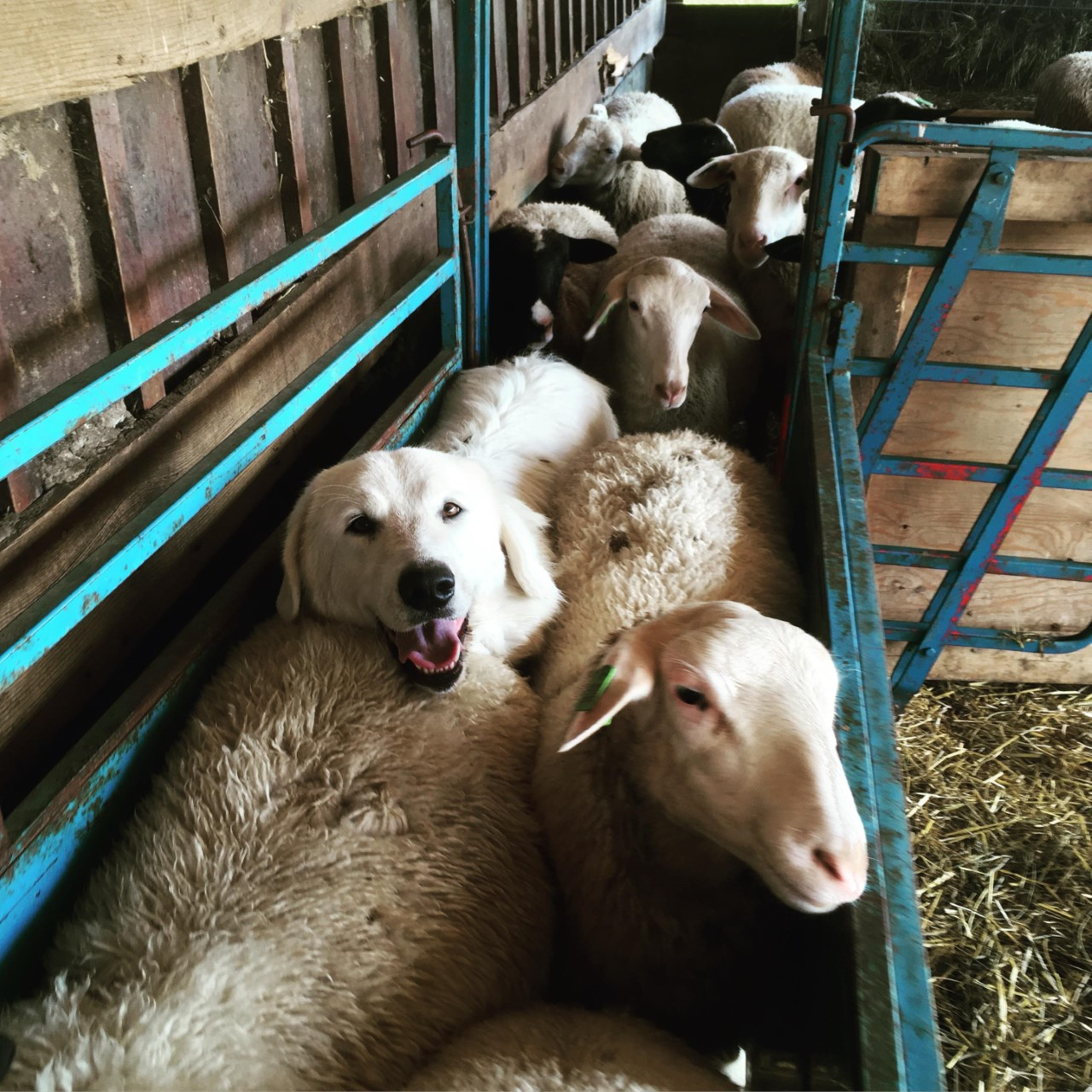 dog lambs.jpg