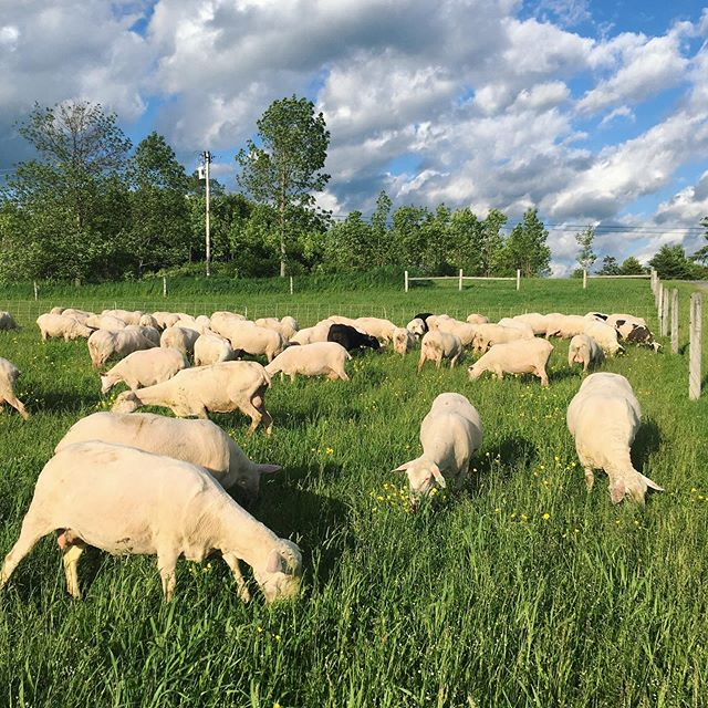 These girls always have the best backdrops! #grassfordays #dairysheep #rotationalgrazing