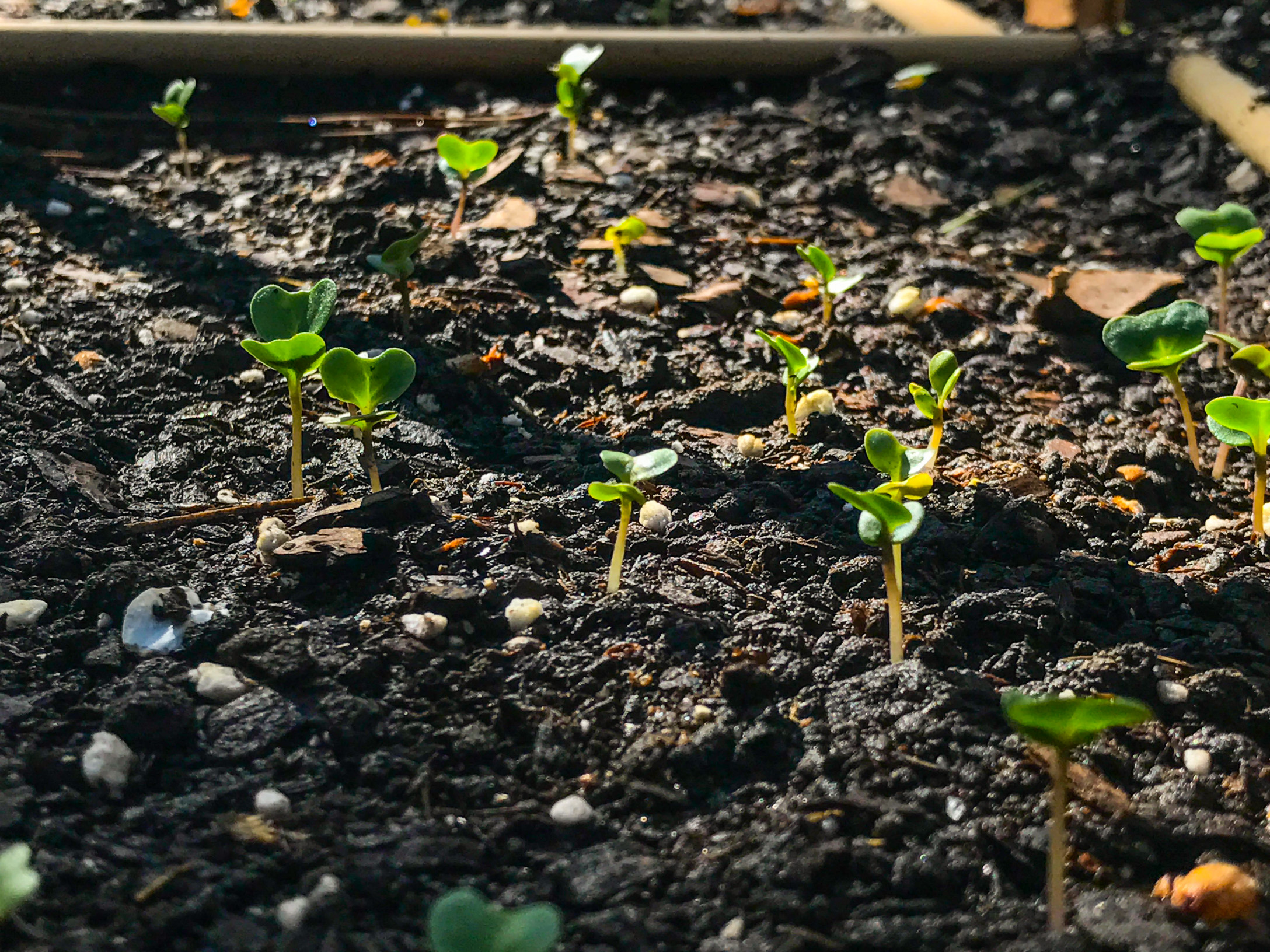 Romanesco Italia Broccoli.  I was very surprised this starting sprouting as soon as it did, a good week after sowing.