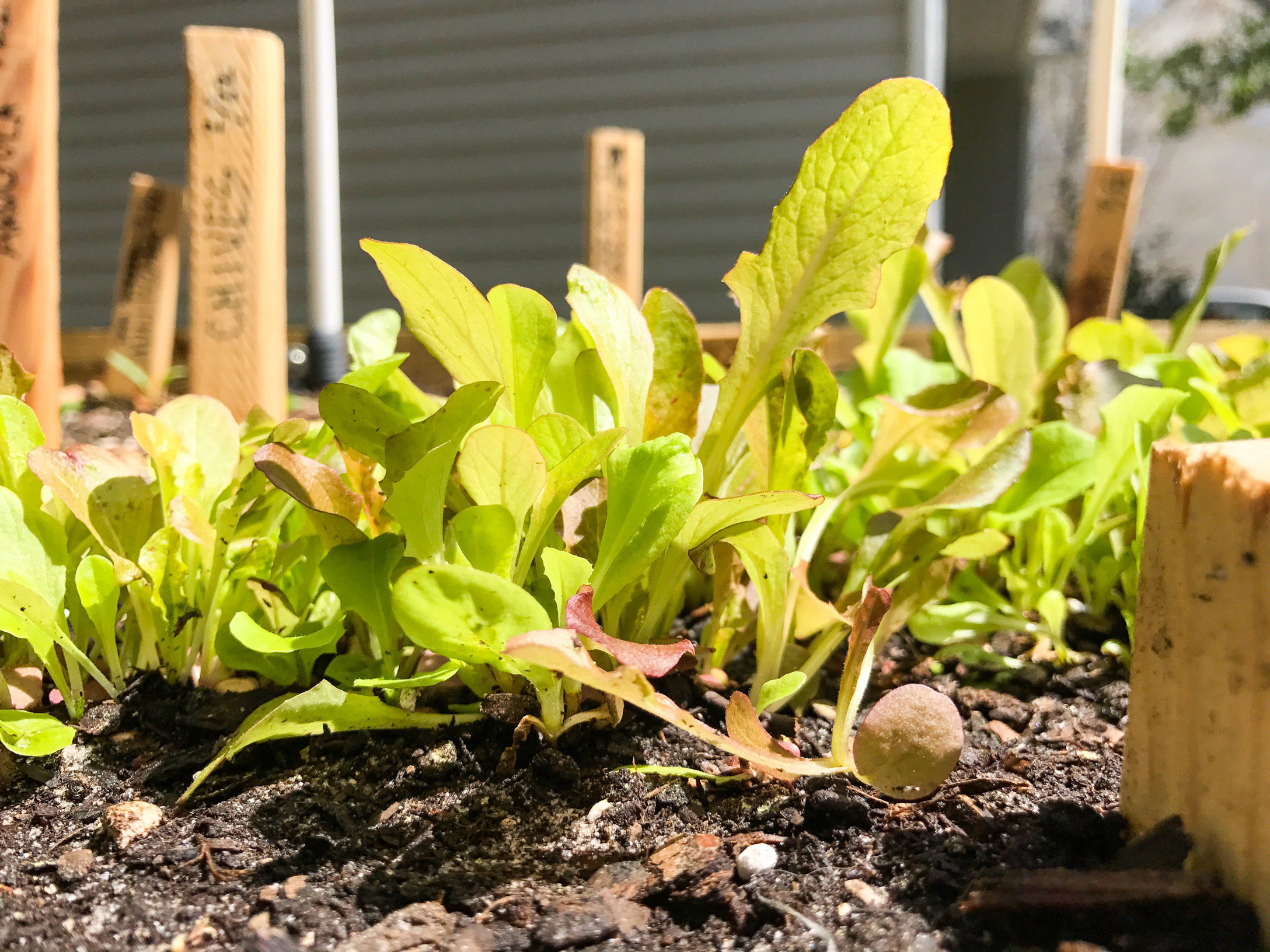 Red Wing Lettuce