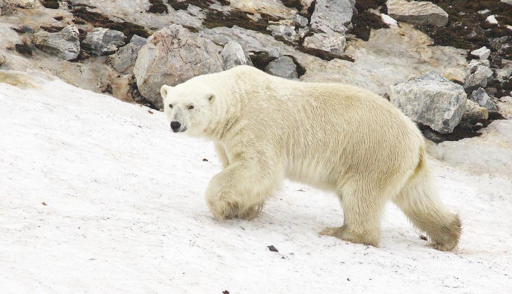 Svalbard-PolarBear_cPETER HARRISON_0005.jpg