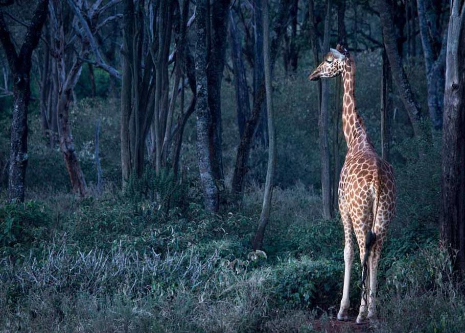 Giraffe Manor_11.png