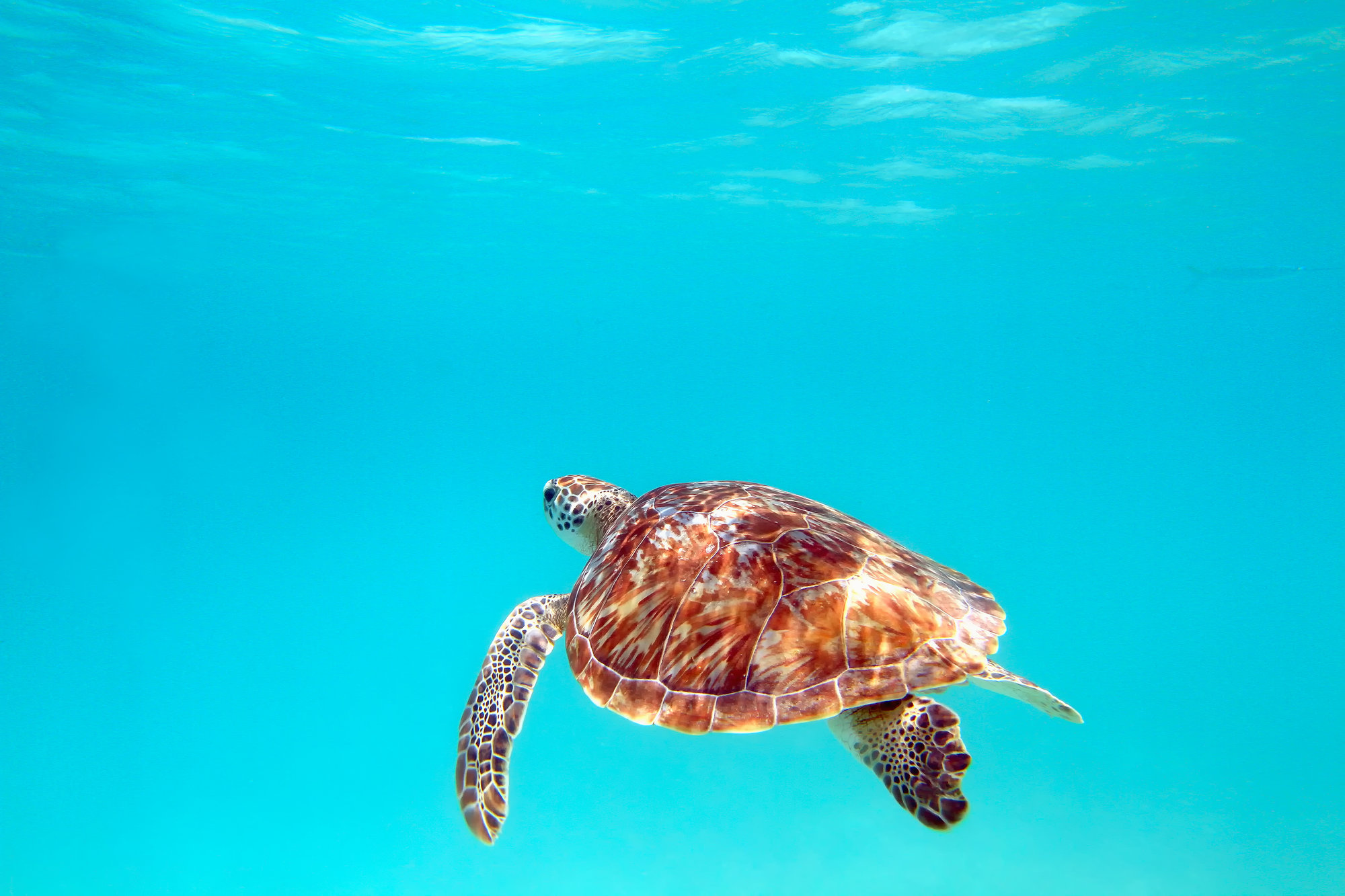 Caribbean_island_turtle.jpg