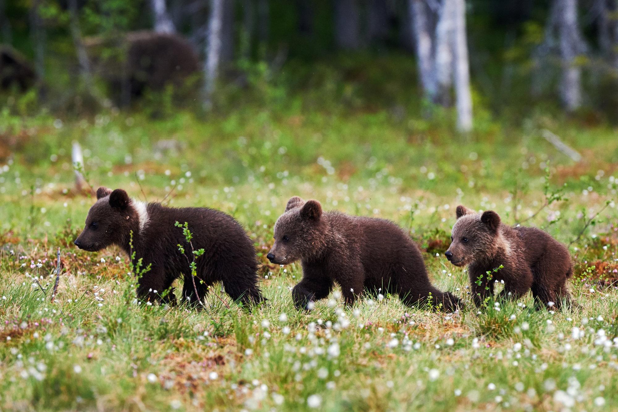 bear_cubs_alaska_cruise.jpg