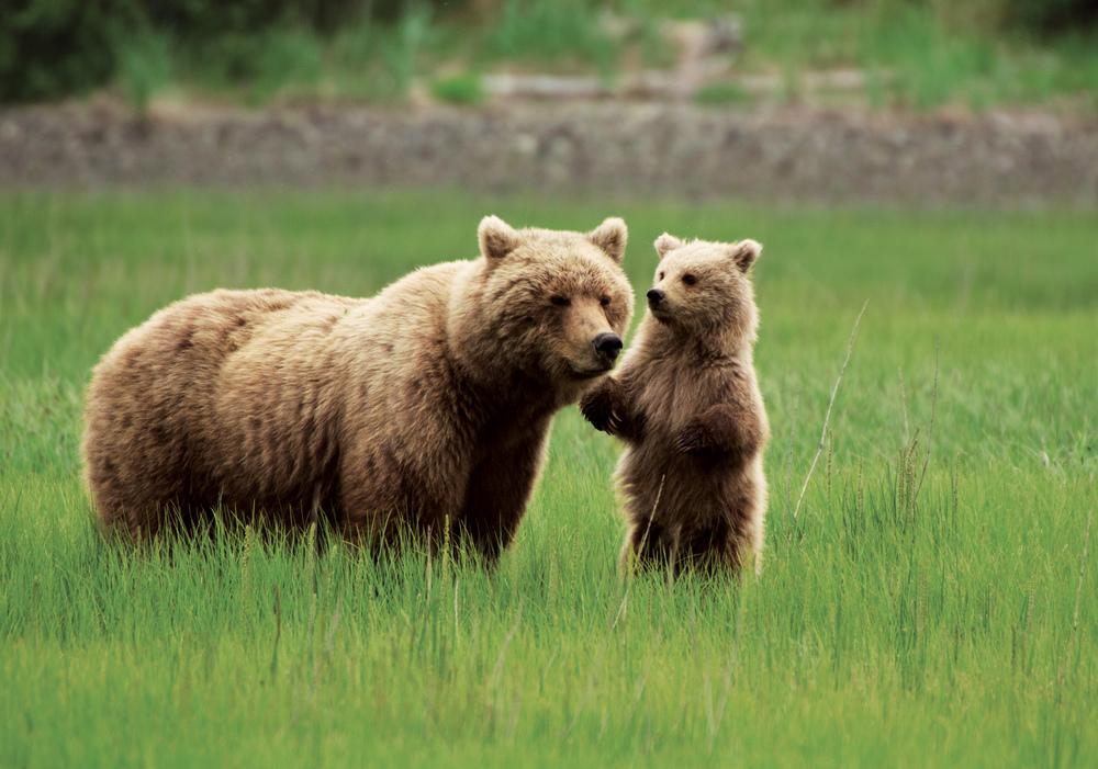 bears-alaska.jpg