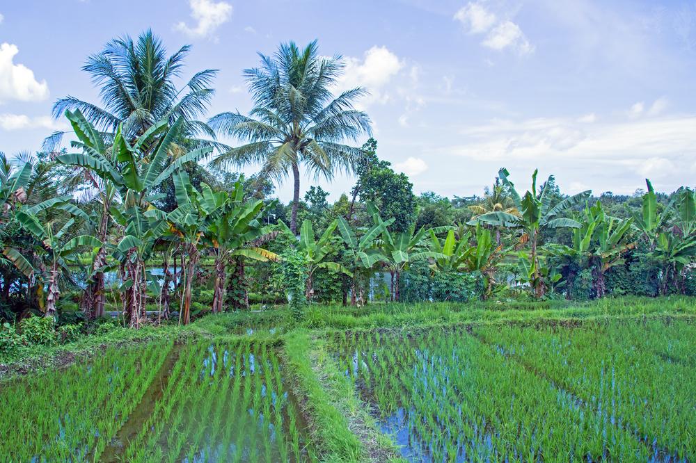 Rice Field Vietnam.jpg