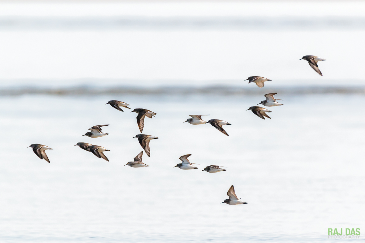 A flock of sanderlings fly over the waves looking for a place to stop and feed