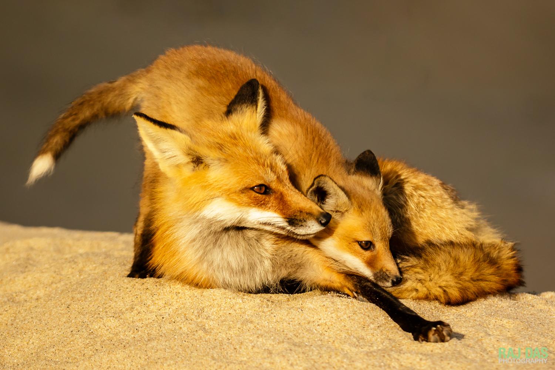 RedFox&Kits-7.jpg