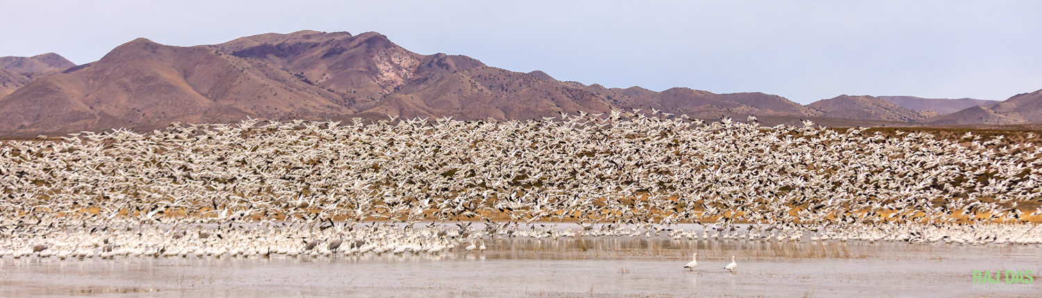 Snow geese taking off from pool along Old Highway 1 in Bosque del Apache NWR, New Mexico