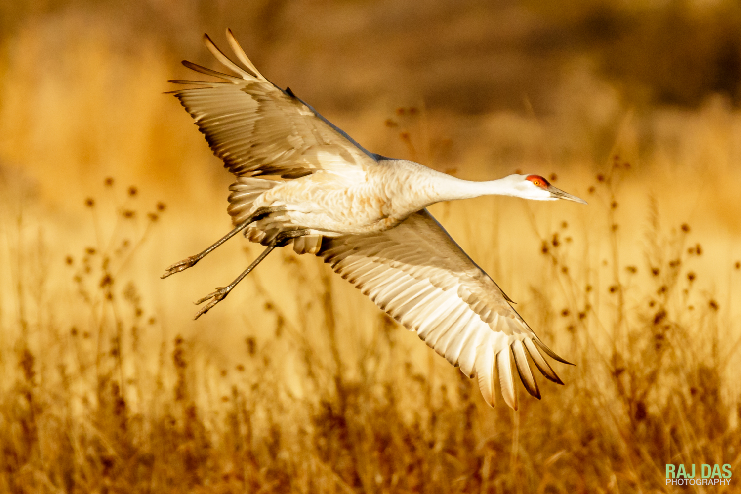 A greater sandhill crane landing to roost for the night at Bosque del Apache NWR
