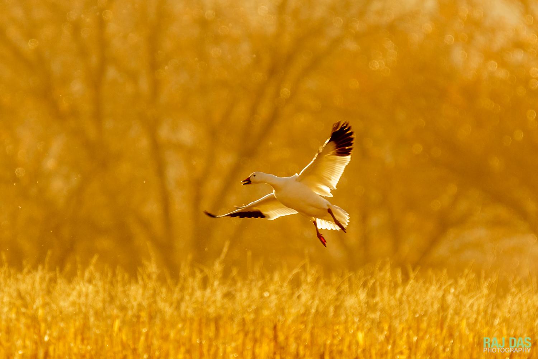 A snow goose landing in a corn field at Bosque del Apache NWR