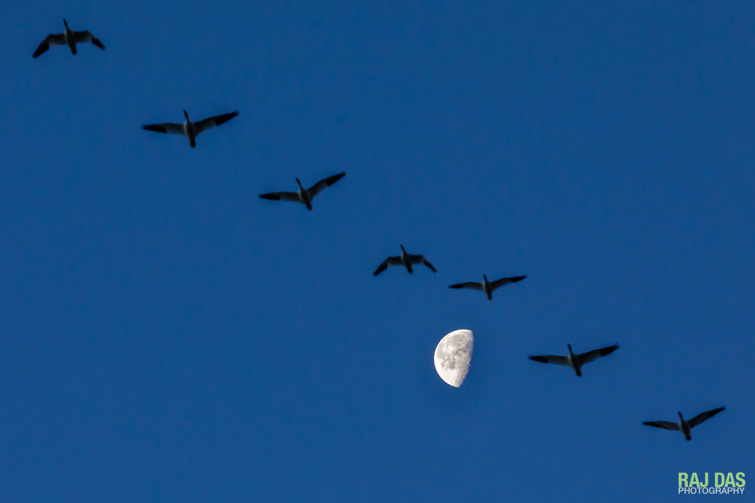 A flock of snow geese against the moon, flying into Bosque del Apache NWR in the morning.