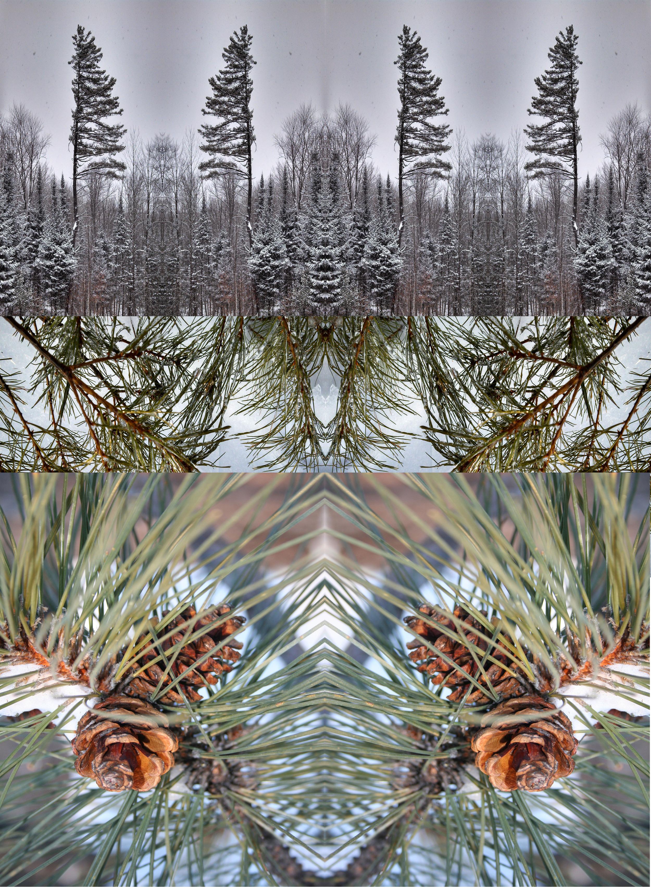 evolution of pine.jpg