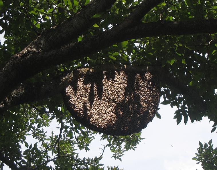 Apis Dorsata Nest, Thailand