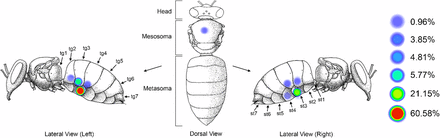 Figure showing the areas that mites chose to feed on the adult honey bees