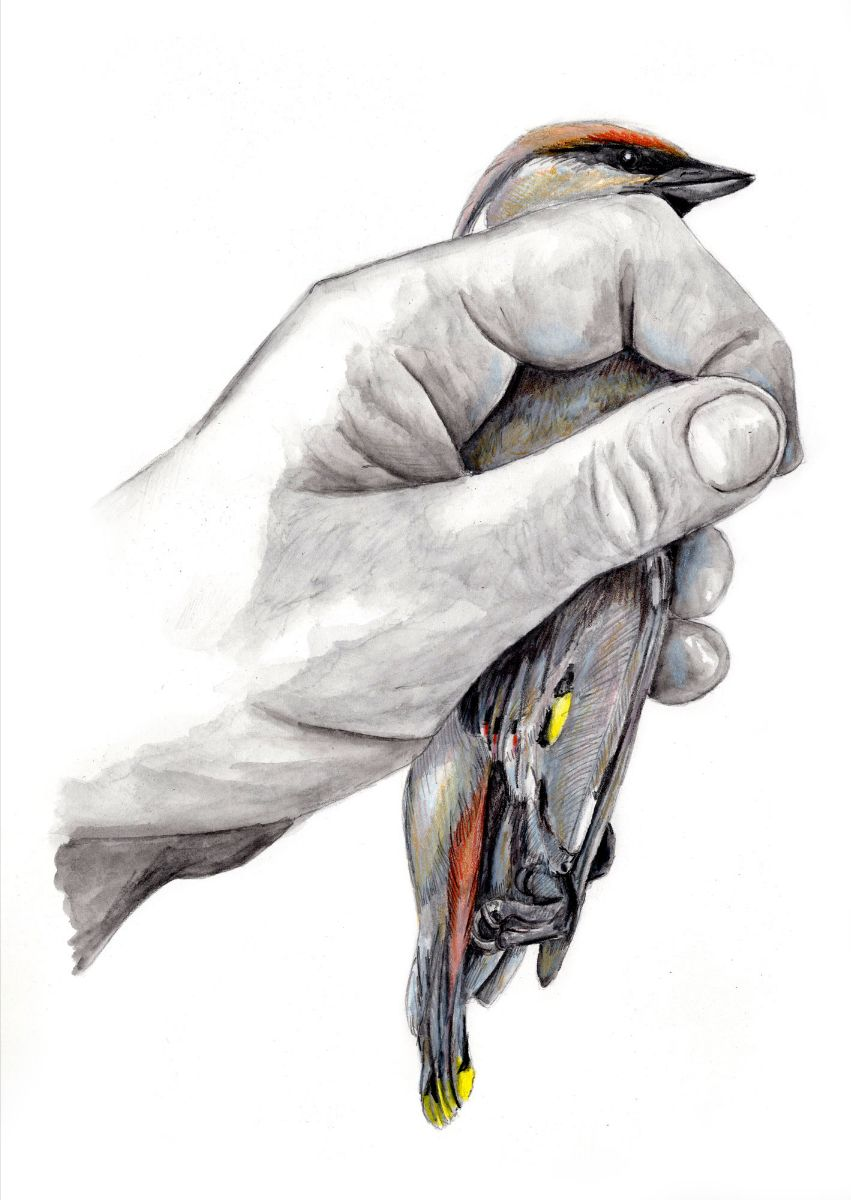 Kristin Link,  Bird in Hand: Bohemian Waxwing , 2019, graphite and colored pencil on paper