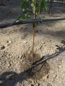 A well-watered vine