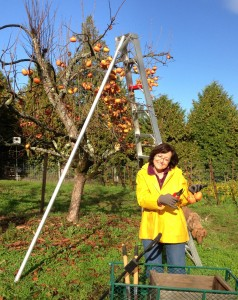 My good friend, Liz, helped me finish picking the last of the Fuyu persimmons